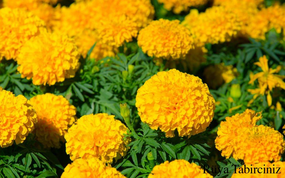 Rüyada kadife çiçeği görmek