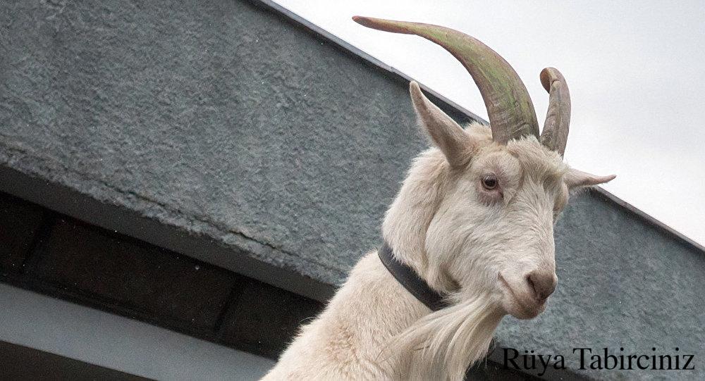 Rüyada keçi görmek